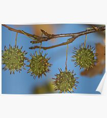 Maple Tree Seed Pods Poster