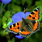 Small Tortoiseshell Butterfly by Jane-in-Colour