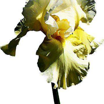 Pale Yellow Iris by SudaP0408