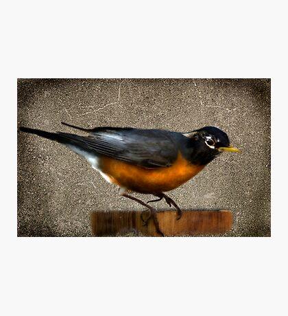 Mr. Robin Photographic Print