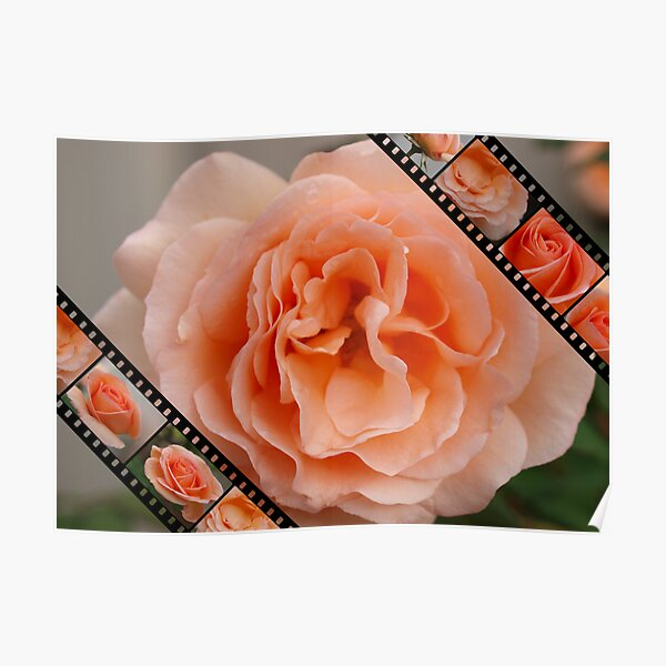 Roses film 3 Poster