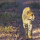 Female Cheetah by Riaan van der Merwe
