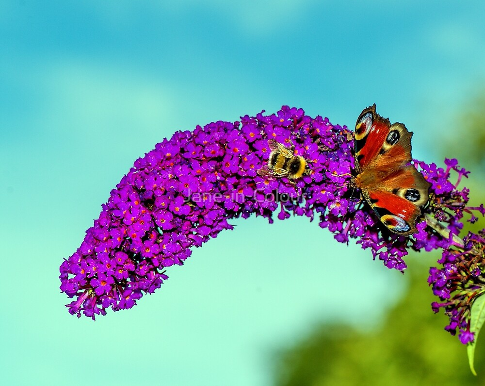 Together on Buddleja by Jane-in-Colour