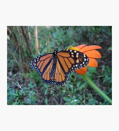 Monarch in Bidens alba Photographic Print
