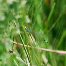 Scarce Blue Tailed Damselfly by dougie1