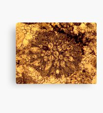 Bryozoan fossil thin-section from Usk, Monmouthshire Canvas Print