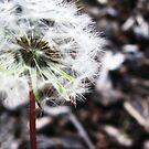 Dandelion by MRPhotography