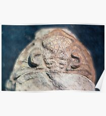 Dalmanites (trilobite) cephalis fossil from Usk, Monmouthshire Poster