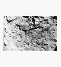 Fuchsella (bivalve) fossils from Usk, Monmouthshire Photographic Print