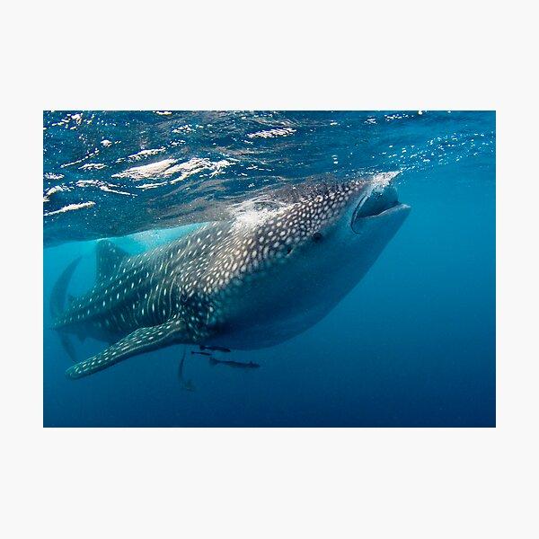 Whaleshark Photographic Print