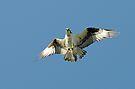 Territorial Osprey Male by Lynda   McDonald