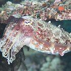 Broadclub Cuttlefish by Mark Rosenstein