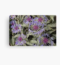 Garden-Centaurea Canvas Print