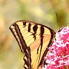 Swallowtail 2 by eltotton