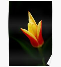 Red and yellow tulip Poster