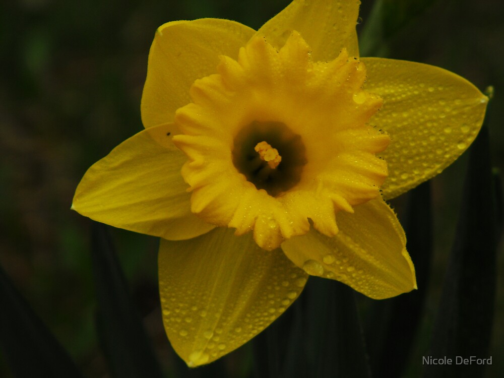 daffydowndillo by Nicole DeFord