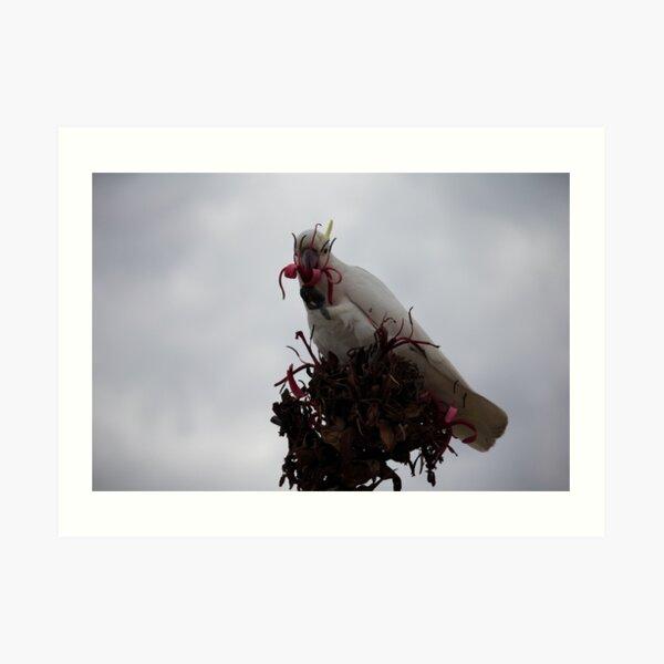 Cockatoo Eats Flower Art Print