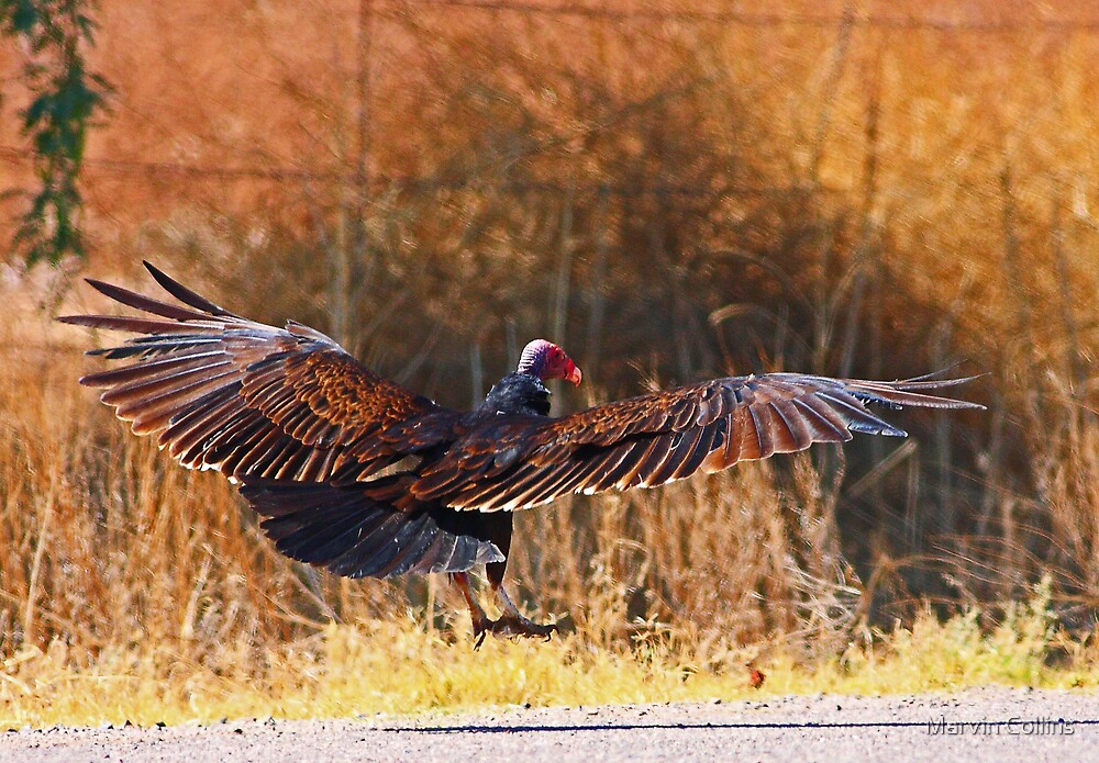 061409 Turkey Vulture by Marvin Collins