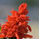 red Salvia flower by memaggie