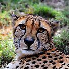 Cheetah by Savannah Gibbs