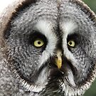 Great Grey Owl close up by derbyshireduck
