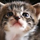 Curious Kitten by Jo Nijenhuis