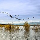 Geese at Lake Laberge by Yukondick