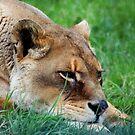 Resting lion by Sarmorrow