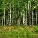 Summer Aspens Flagstaff Arizona by K D Graves Photography