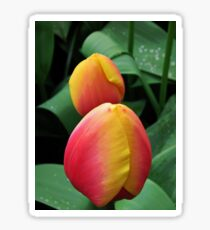 Tender Tulips Sticker