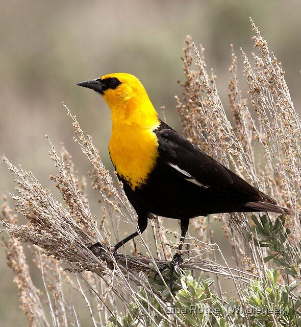 Yellow Headed Blackbird by Gina Ruttle  (Whalegeek)