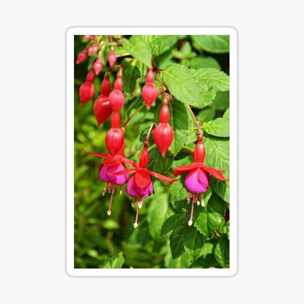 Red and Purple Fuchsia Sticker