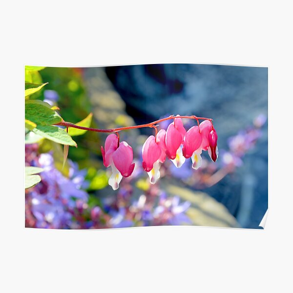 Pink and White Fuchsia Poster