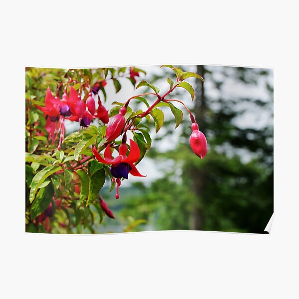 Red and Purple Fuchsia Poster