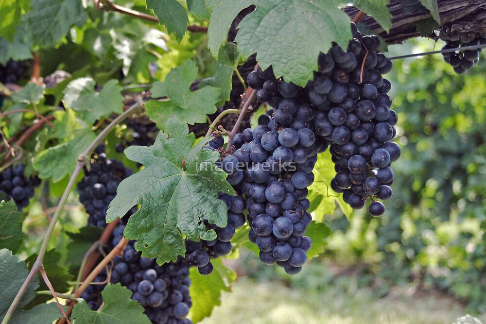 Bright Colors - Grapes of course by imagewerks
