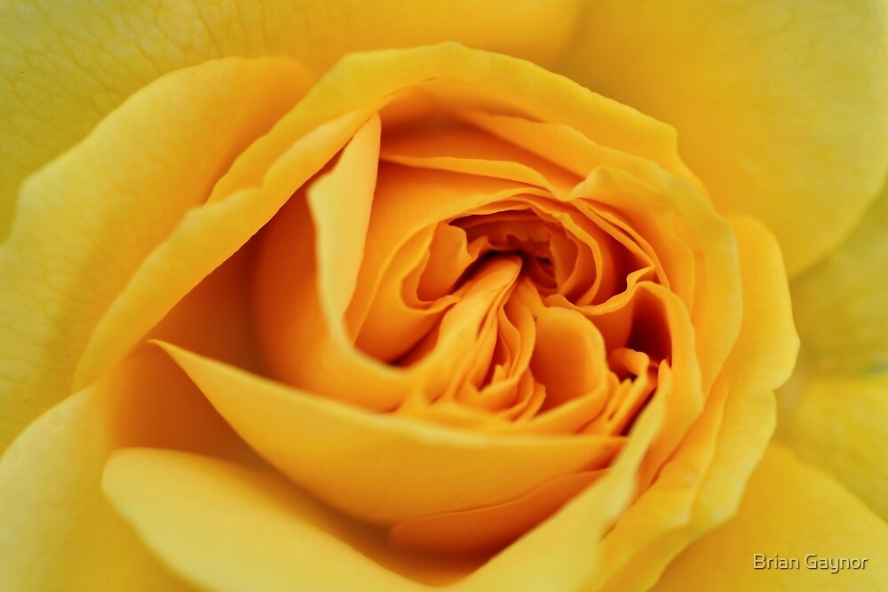 Julia Child Rose by Brian Gaynor
