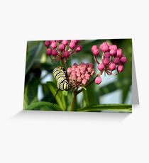 Swamp Milkweed & Monarch Butterfly Caterpiller  Greeting Card