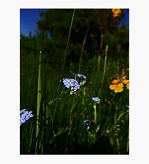 Water Forget-me-not (Myosotis scorpioides) Photographic Print