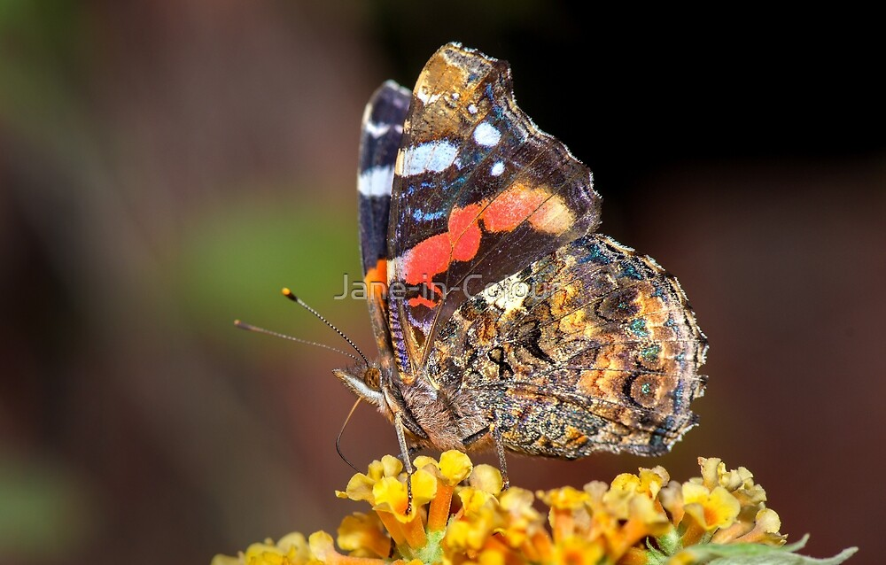Red Admiral Butterfly by Jane-in-Colour