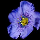 Dramatic Flax Flower by Amber D Hathaway Photography