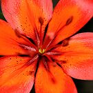 Sunset Lily by Heather Caye