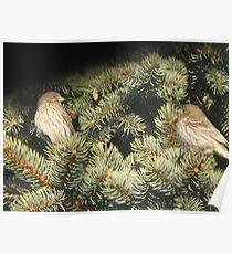 Pine House Finches I Poster