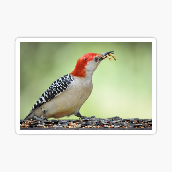 Flicker with mealworms Sticker