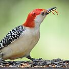 Flicker with mealworms by Laurie Minor