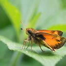 Skipper Butterfly by David Lamb