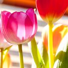 Tulips 1 by JohnW