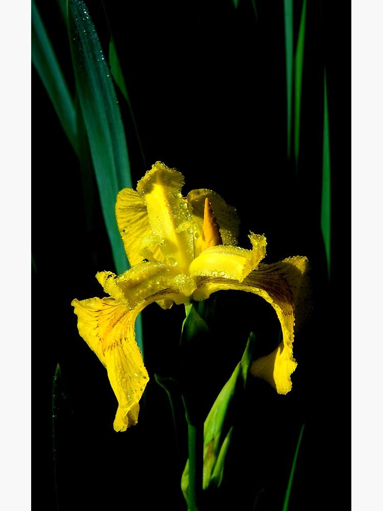 Riparian Iris by LumenLux