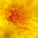 yellow-gold dream by lensbaby