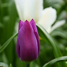 Purple Tulip by Andy Beattie