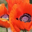 Red Poppies by Astrid Ewing Photography